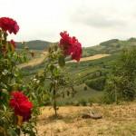 Rose dell'agriturismo