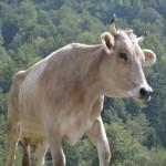Vacca bruna