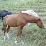 Cavallo Lord