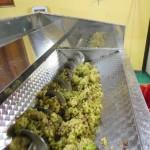 Pigiatura unva Chardonnay