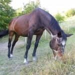 Cavallo Tortora